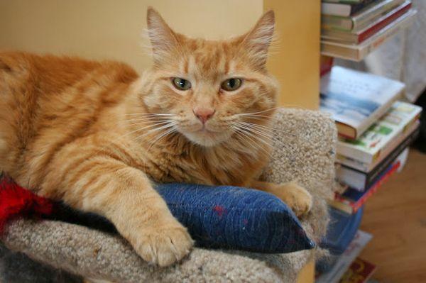 Основной разносчик инфекции - кошка