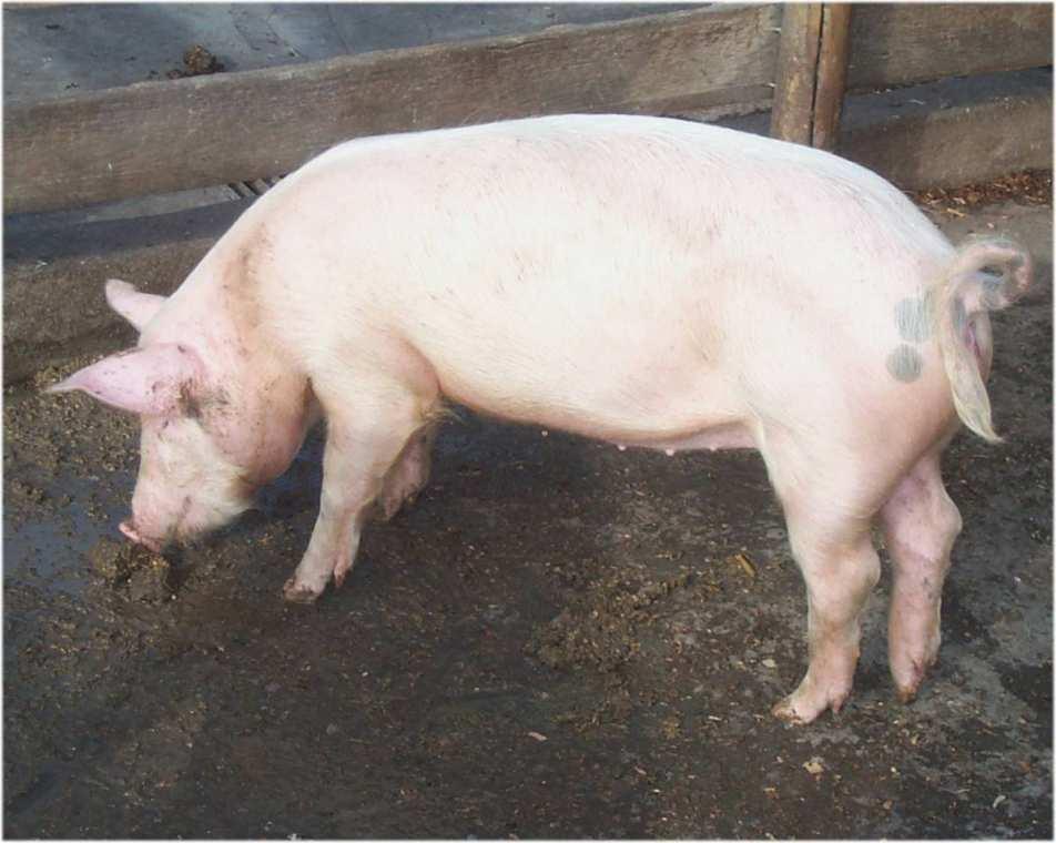 Чаще всего заражение идет от свиней