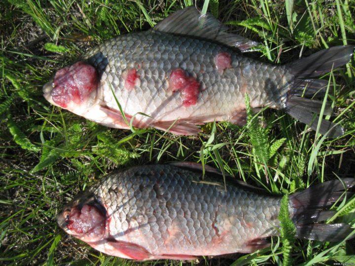 Зараженная паразитом рыба
