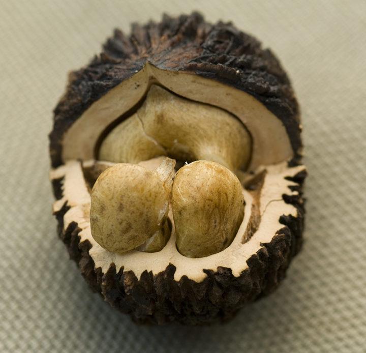 Лист чёрного ореха от паразитов
