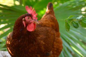 Куриные блохи: как выглядят и как от них избавиться