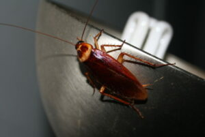 Летающий таракан: мифы и реальность