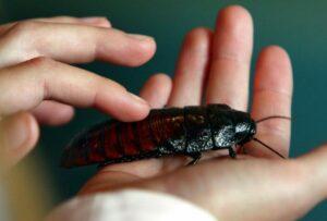 Большой таракан: виды гигантскиих насекомых с описанием