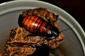 Американские тараканы в квартире фото