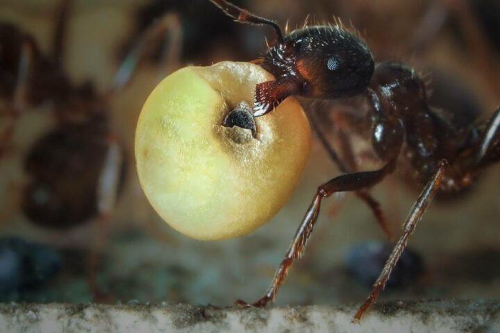 муравьи едят грибы